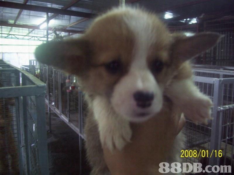 2008/01/16 88DB.com  dog,dog like mammal,welsh corgi,dog breed,mammal