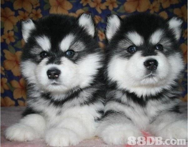dog like mammal,dog,alaskan malamute,dog breed,sakhalin husky