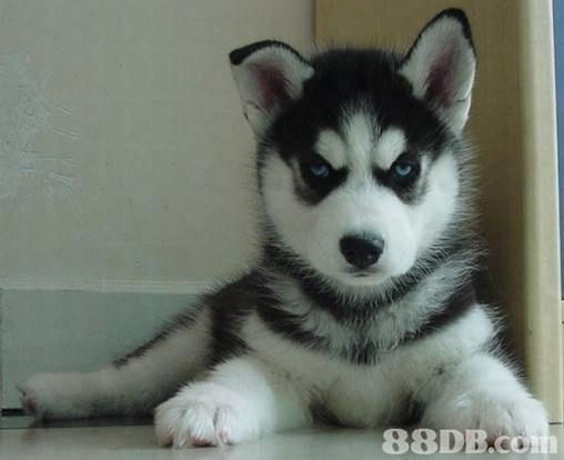88DB  siberian husky,dog like mammal,dog,dog breed,sakhalin husky