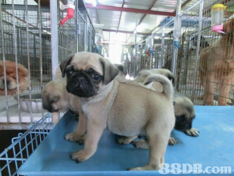 8DB.conm,pug,dog,dog like mammal,dog breed,mammal
