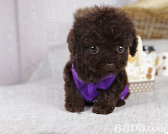 dog like mammal,dog,dog breed,vertebrate,toy poodle