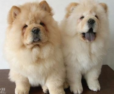 dog,dog like mammal,dog breed,dog breed group,chow chow