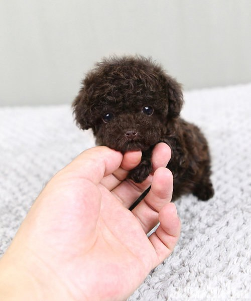 dog like mammal,dog breed,dog,toy poodle,miniature poodle