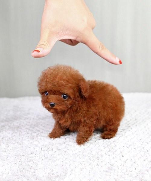 dog,dog like mammal,dog breed,toy poodle,dog breed group