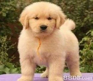 dog,dog like mammal,golden retriever,dog breed,retriever