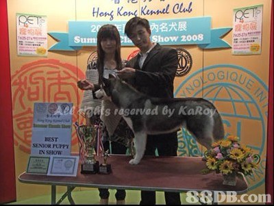 Hone Kong Kennel Clul 西名犬展 寵物屐 Su ow 2008 oGIQ BEST SENIOR PUPPY IN SHOW 88DB.com  dog,dog like mammal,mammal,vertebrate,dog breed group