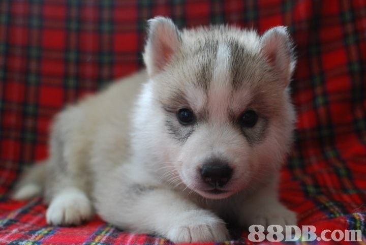 dog like mammal,dog,siberian husky,dog breed,sakhalin husky