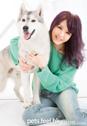 pets.feel.hkgsDB.com,dog,dog like mammal,dog breed,dog breed group,siberian husky