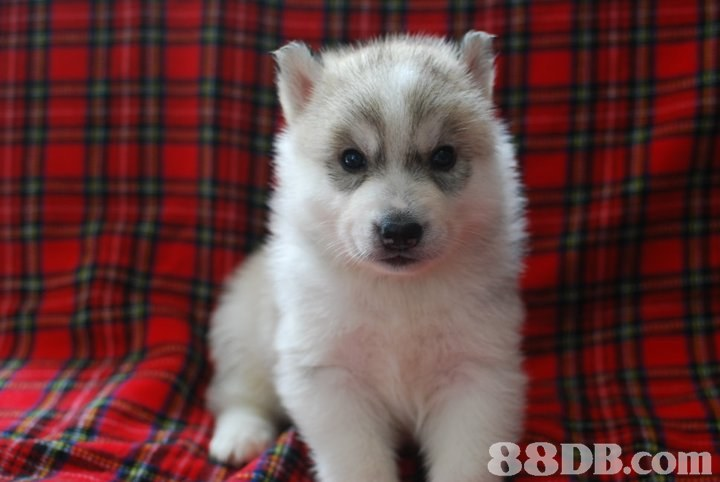 dog,dog like mammal,siberian husky,dog breed,mammal