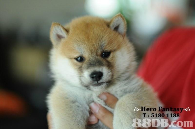 Hero Fantas T: 5180 1188,dog,dog like mammal,dog breed,mammal,dog breed group