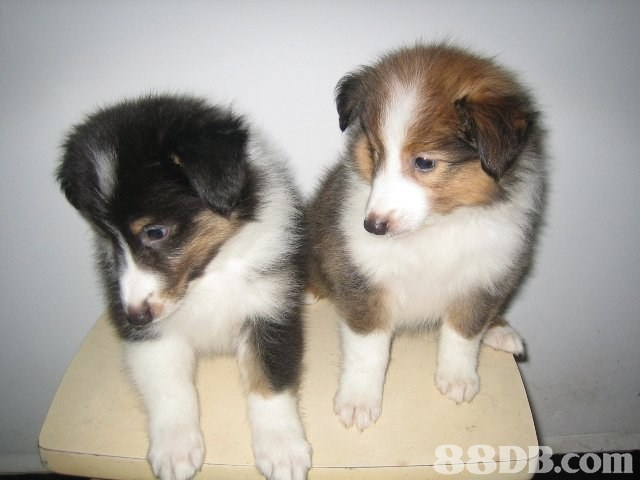 98DB.com,dog,dog like mammal,dog breed,rough collie,mammal