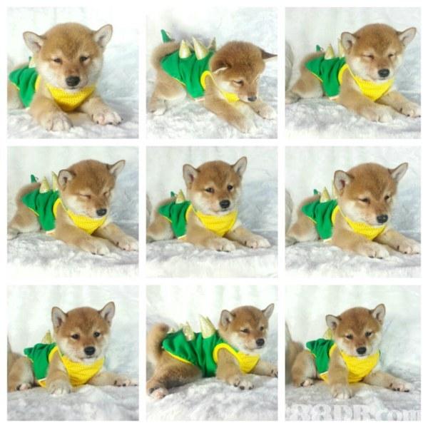 dog like mammal,dog breed,fauna,dog,stuffed toy