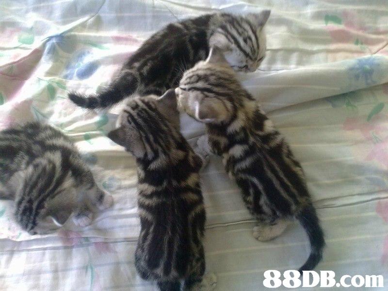 88DB.com  cat,mammal,small to medium sized cats,cat like mammal,dragon li