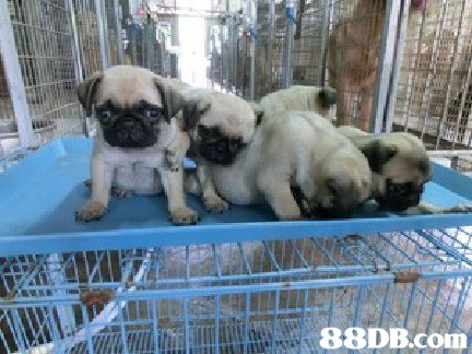 dog,pug,dog like mammal,dog breed,mammal