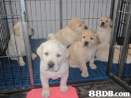 dog,dog like mammal,labrador retriever,dog breed,retriever