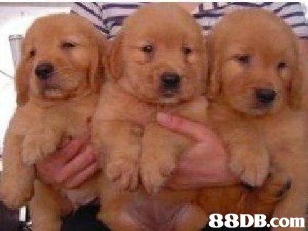 88DB.com Int  dog,dog like mammal,dog breed,golden retriever,retriever