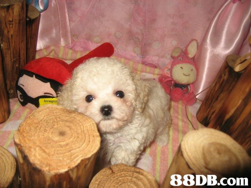 Irrepla   dog,dog like mammal,dog breed,mammal,miniature poodle