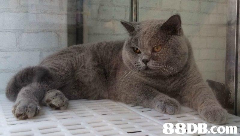 cat,mammal,small to medium sized cats,cat like mammal,british shorthair