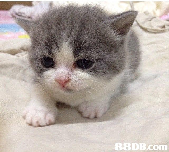 cat,small to medium sized cats,mammal,cat like mammal,domestic short haired cat