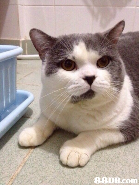 cat,small to medium sized cats,cat like mammal,whiskers,domestic short haired cat