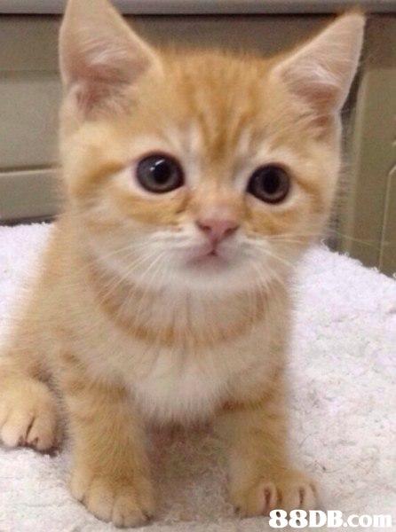 88DB.Com,cat,small to medium sized cats,cat like mammal,whiskers,kitten