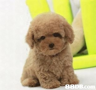 8DB.com,dog like mammal,dog,dog breed,dog breed group,toy poodle
