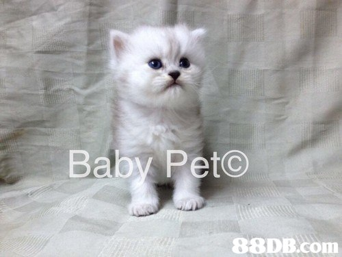 Baby Peto,cat,burmilla,mammal,small to medium sized cats,cat like mammal