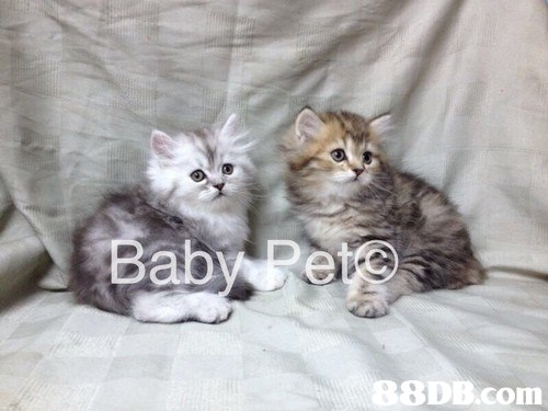 Babye B8DB.com,cat,mammal,small to medium sized cats,cat like mammal,vertebrate