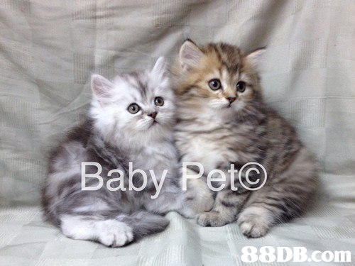 Baby Rete,cat,mammal,small to medium sized cats,cat like mammal,vertebrate