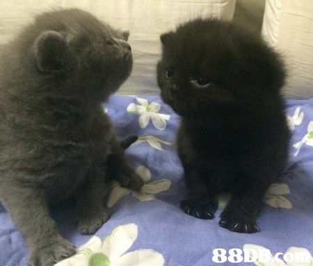 cat,mammal,small to medium sized cats,dog breed group,cat like mammal