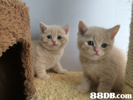 cat,small to medium sized cats,mammal,cat like mammal,british shorthair