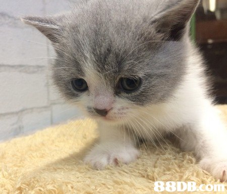 cat,small to medium sized cats,mammal,cat like mammal,whiskers