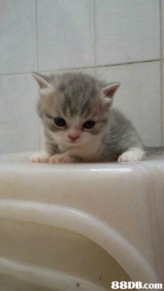 cat,small to medium sized cats,cat like mammal,mammal,british shorthair