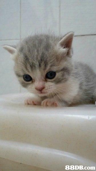 cat,small to medium sized cats,mammal,cat like mammal,burmilla