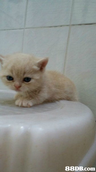 cat,small to medium sized cats,cat like mammal,burmilla,domestic short haired cat