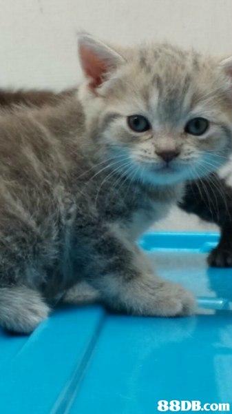cat,small to medium sized cats,mammal,cat like mammal,kitten