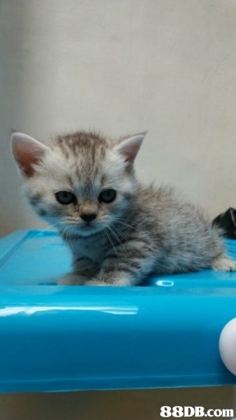 cat,small to medium sized cats,cat like mammal,kitten,whiskers