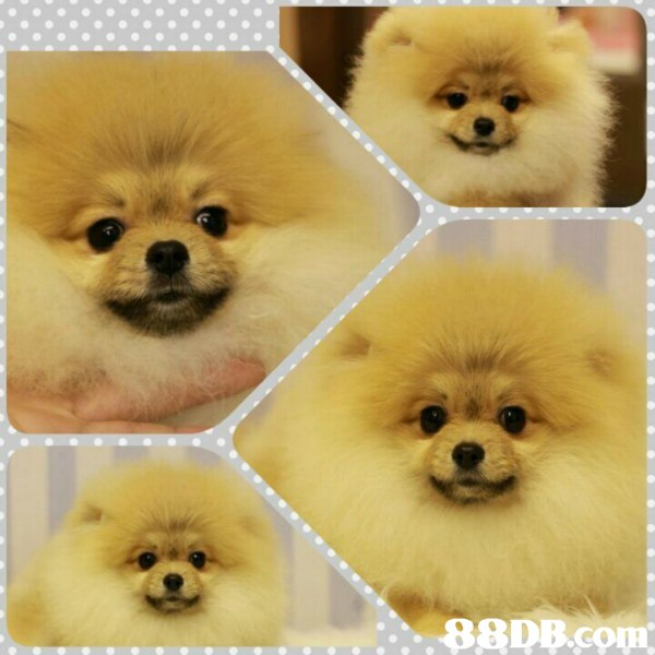 dog,dog like mammal,pomeranian,dog breed,mammal