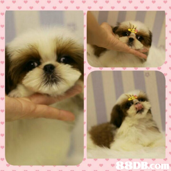dog,dog like mammal,dog breed,dog breed group,shih tzu