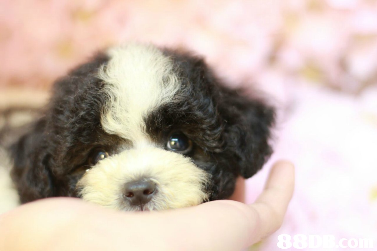 8  dog like mammal,dog,dog breed,vertebrate,dog breed group