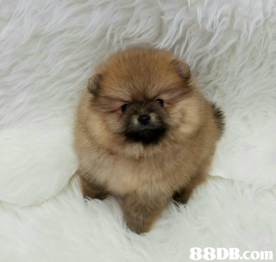 dog,dog like mammal,german spitz,dog breed,german spitz klein