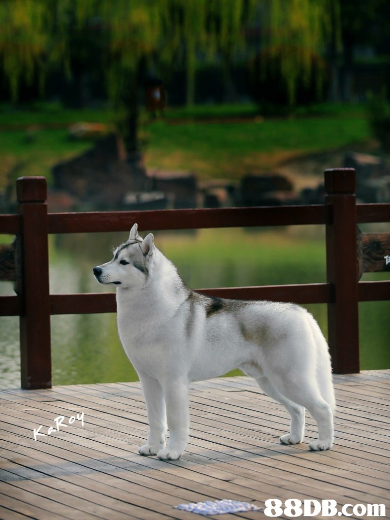 88DB.com  dog like mammal,siberian husky,dog,dog breed group,dog breed