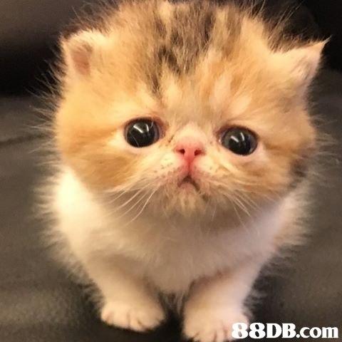 8DB.com  cat,mammal,small to medium sized cats,cat like mammal,vertebrate