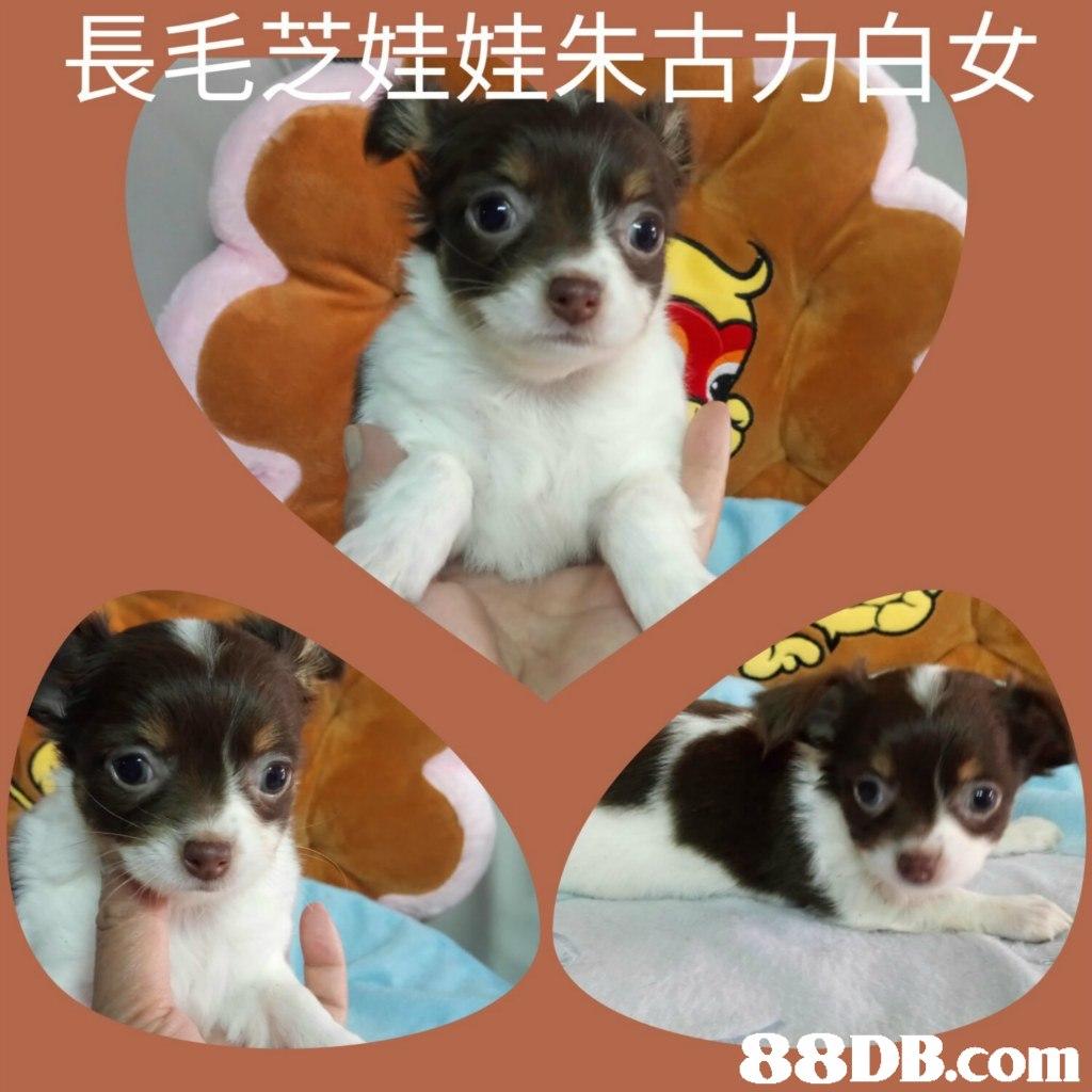 長毛芝娃娃朱古力白女,dog,dog like mammal,dog breed,vertebrate,dog breed group