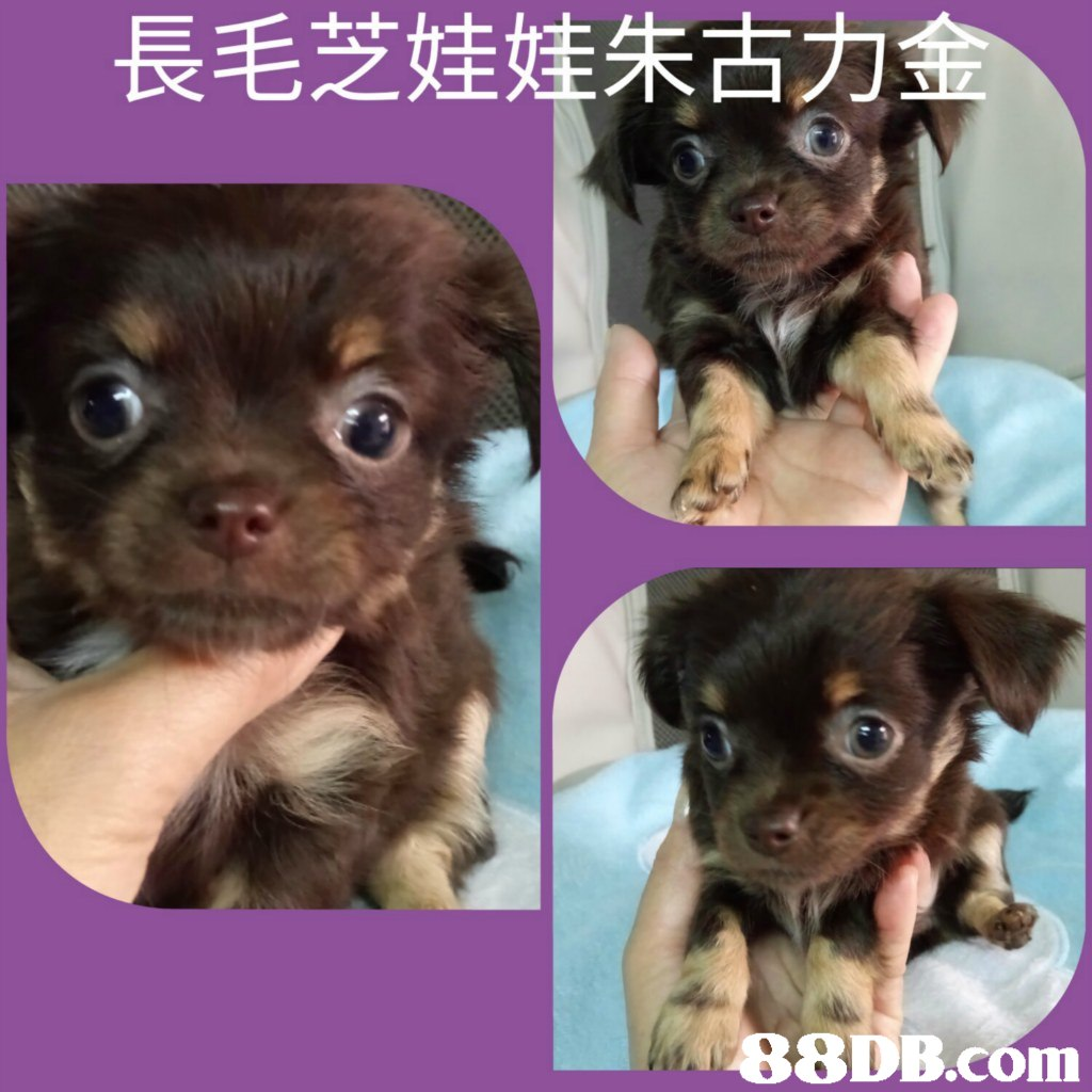 長毛芝娃娃朱古力   dog,dog like mammal,dog breed,puppy,chihuahua