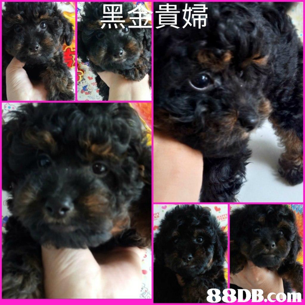 貝帰,dog,dog like mammal,dog breed,vertebrate,dog breed group