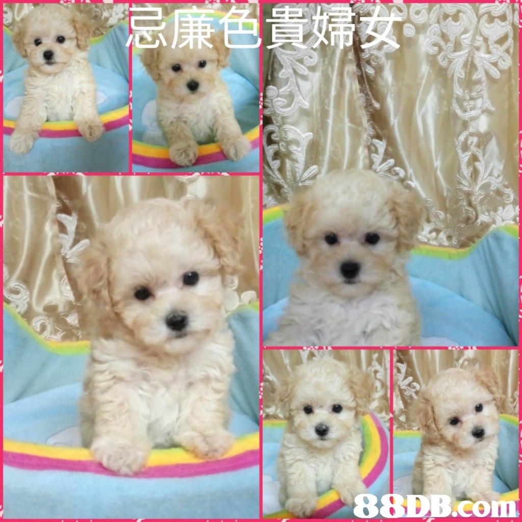 dog,dog like mammal,dog breed,mammal,maltese