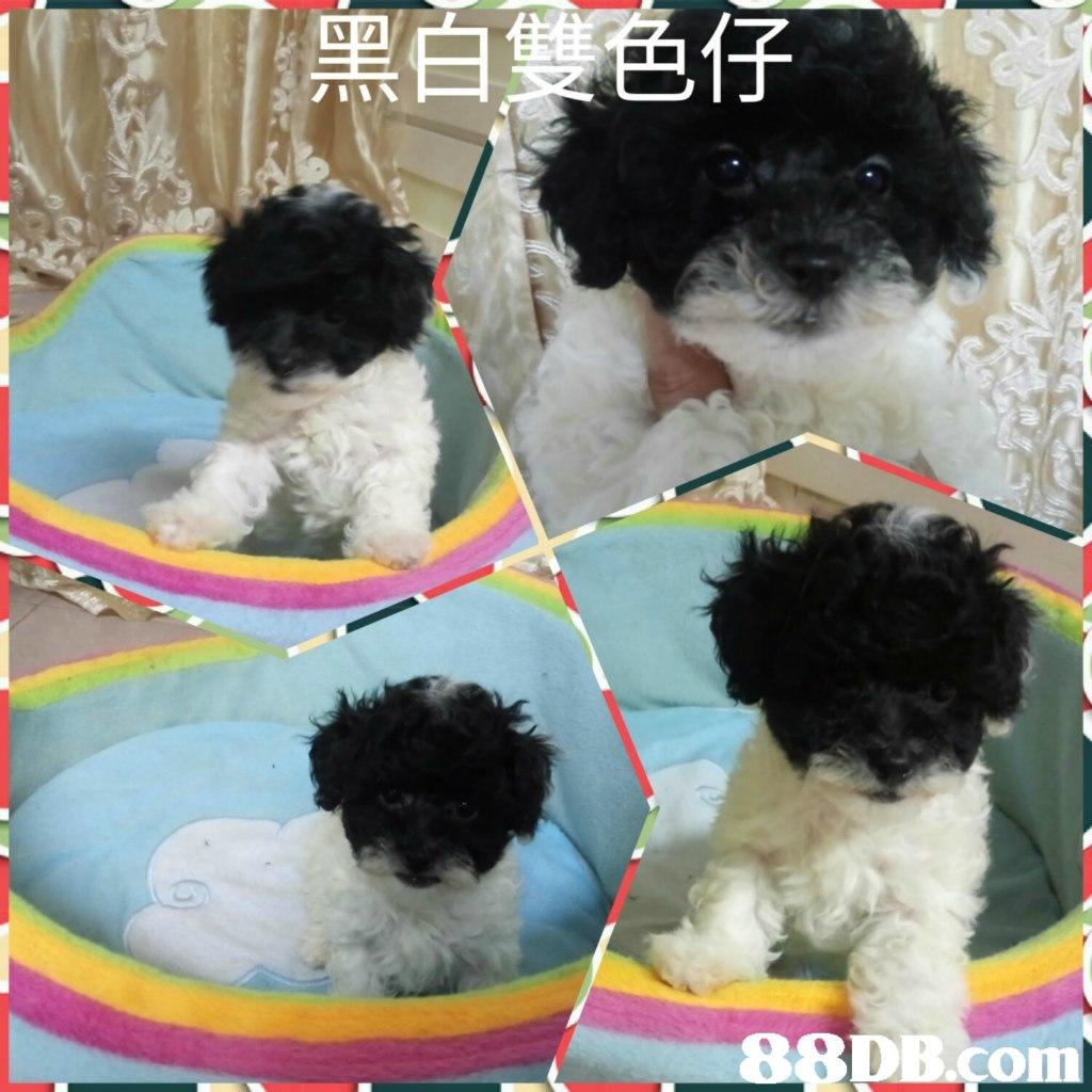 黑白罩色仔,dog like mammal,dog,dog breed,vertebrate,dog breed group