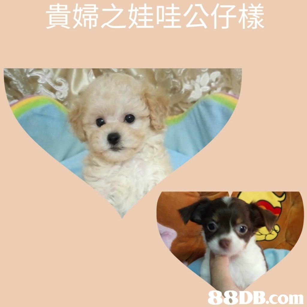 貴婦之娃哇公仔樣   dog,dog like mammal,dog breed,vertebrate,puppy