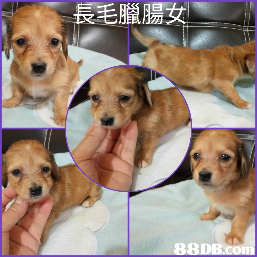 長毛臘腸女 88DB  dog,dog like mammal,dog breed,dog breed group,puppy